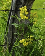 Yellow Pea, Fence Post & Barbed Wire