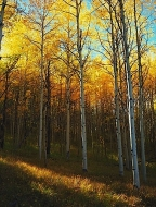 Afternoon Sun In The Aspens